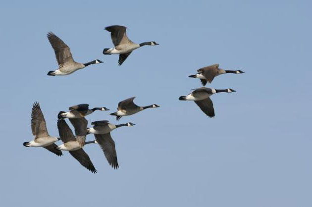 Geese flying back in spring to Minnesota